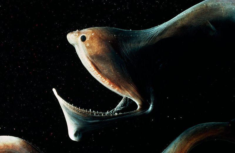 Большерот - рыба-пеликан