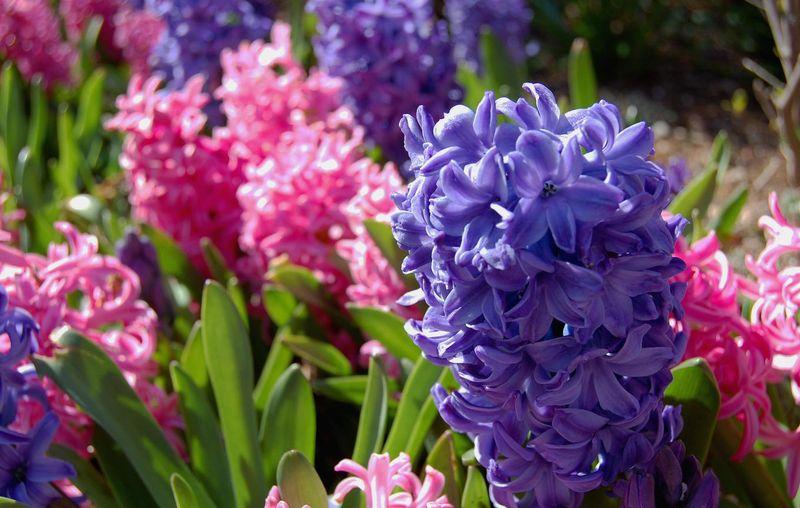 Гиацинт цветок