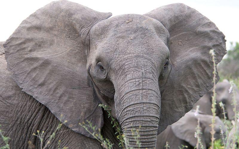 Ухо слона