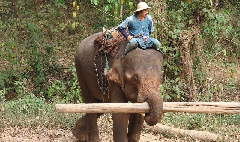 Слон переносит бревно хоботом
