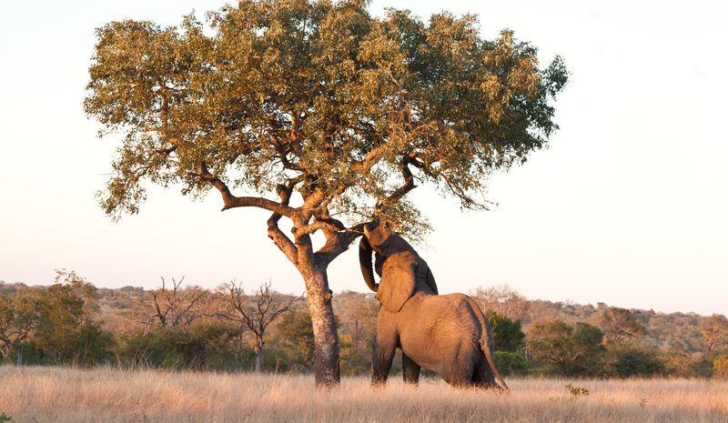 Слон срывает листья с дерева