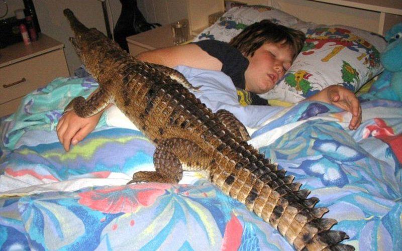 Домашний питомец крокодил