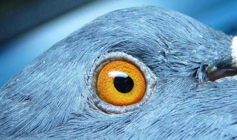 Глаз голубя