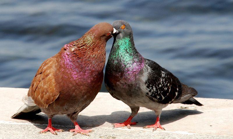 Голубиные пары