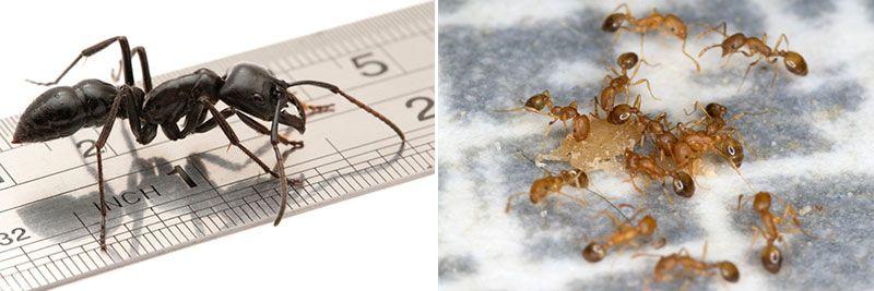 Самый большой и самый мленький муравей