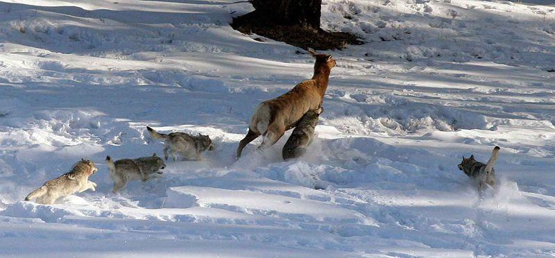Волки загоняют оленя
