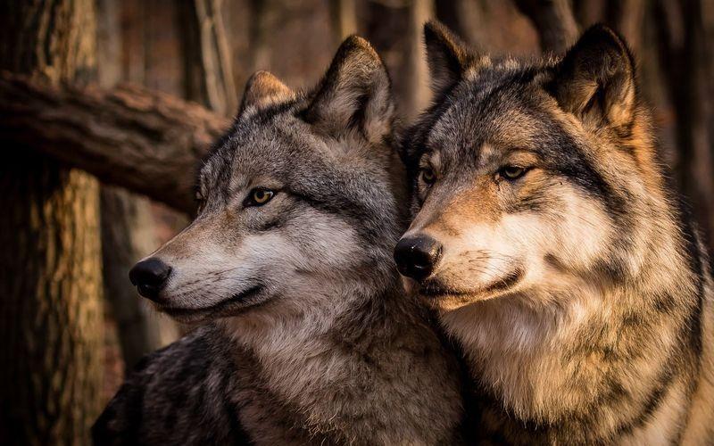 Семейная пара волков