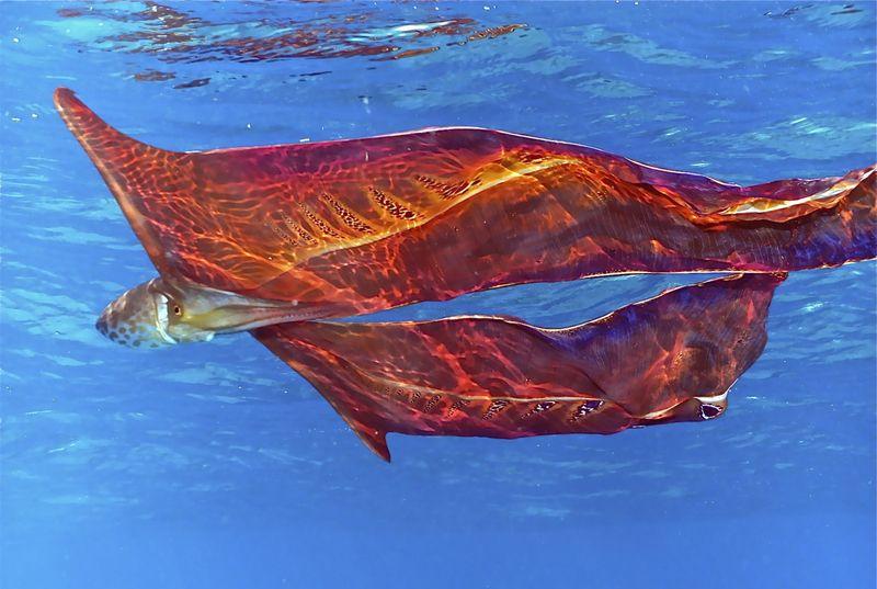 Осьминог-одеяло