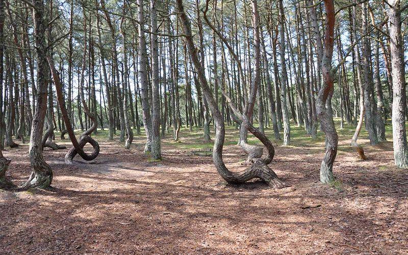 Танцующий лес