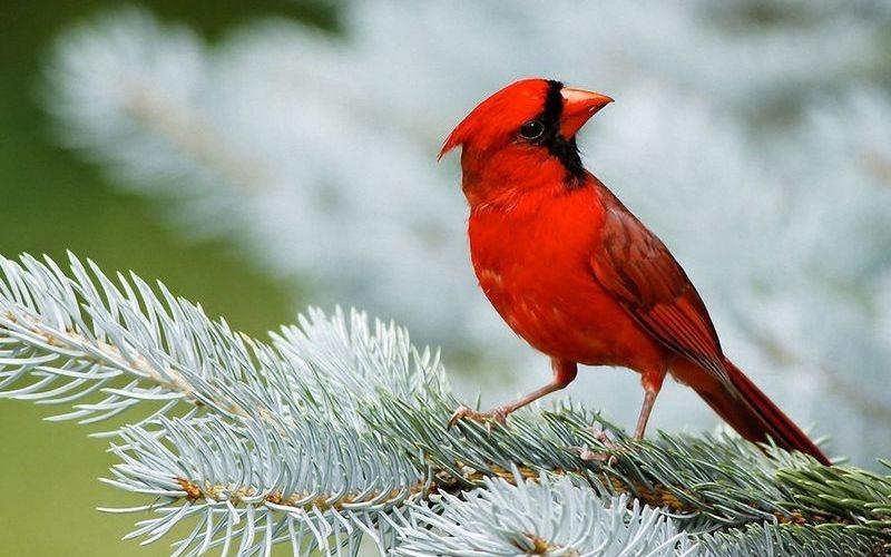 Северный кардинал
