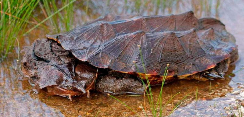 Бахромчатая черепаха матамата