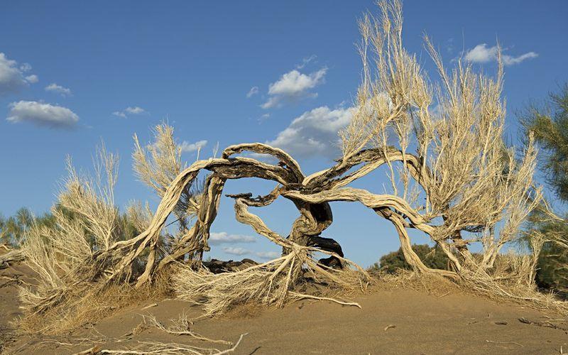 Саксаулы - пустынные деревья