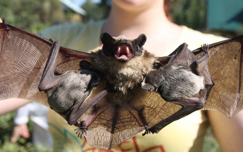 Летучая мышь с дитенышами