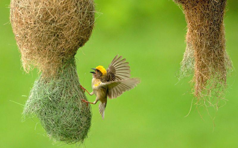 Птица ткач вьет гнездо