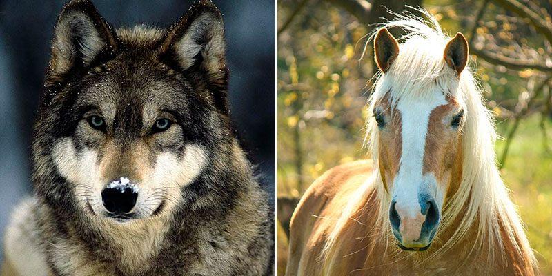 Волк и лошадь
