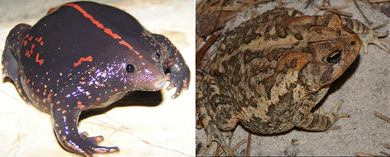 Nosed and pine-headed toads