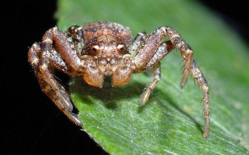 Паук-бокоход или паук-краб