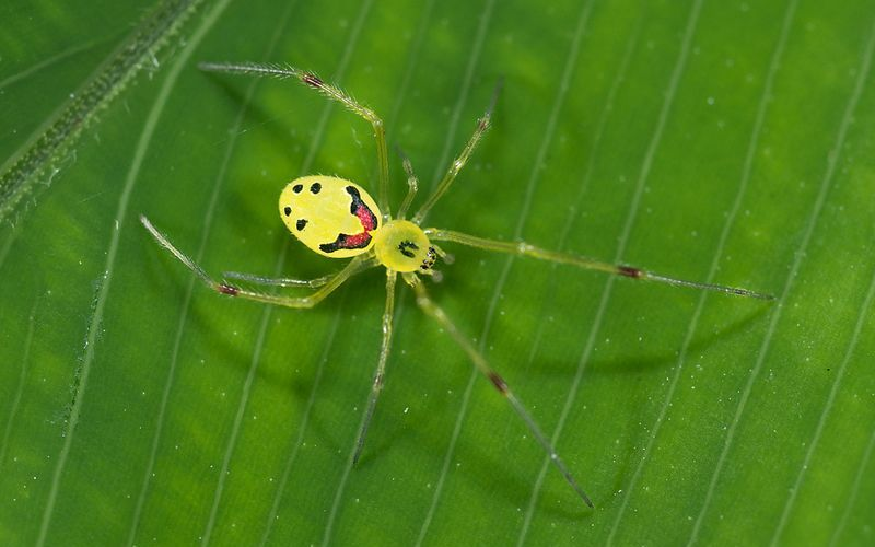 Улыбающийся паук Theridion grallator