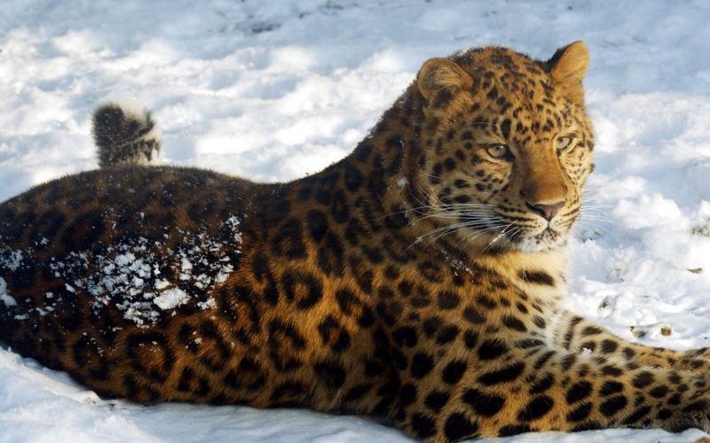 Амурские леопарды