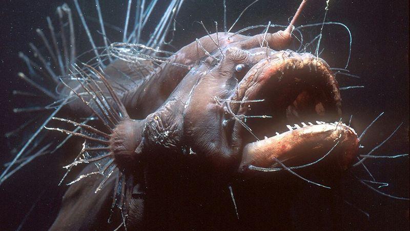 Волосатый морской черт