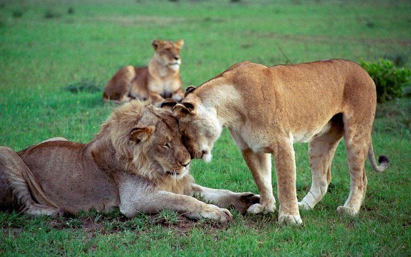 Лев - хозяин саванны