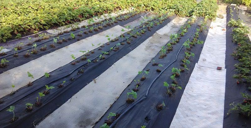 Тепличная технология выращивания клубники