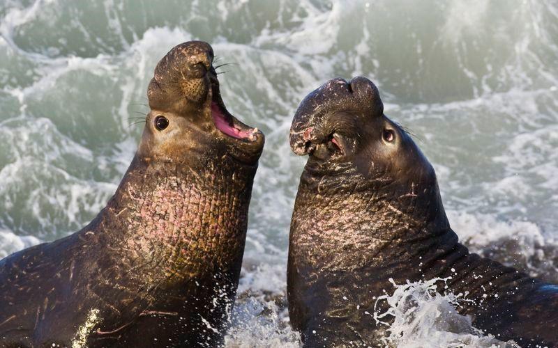 Южный морской слон
