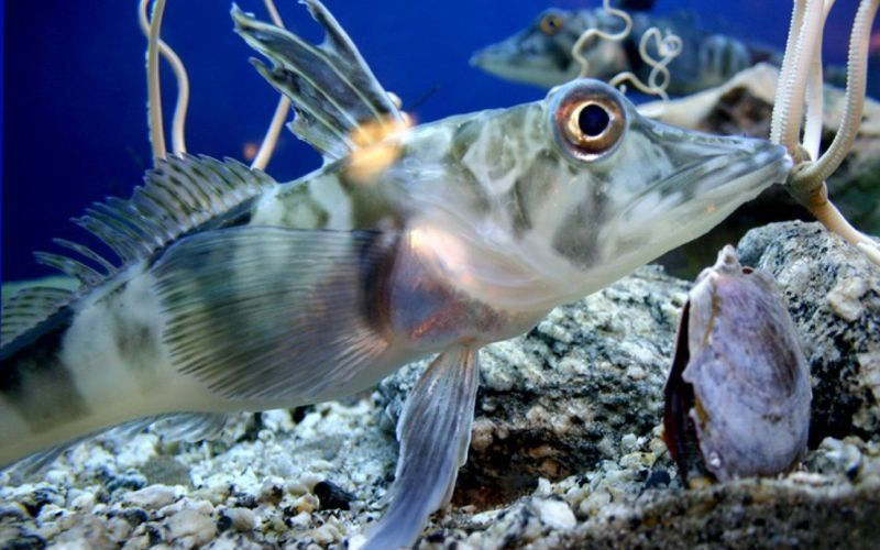 Ледяные рыбы