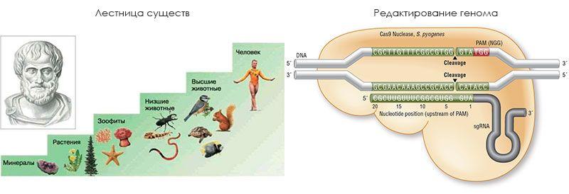 Биология от «Лестницы существ» Аристотеля до редактирования генома