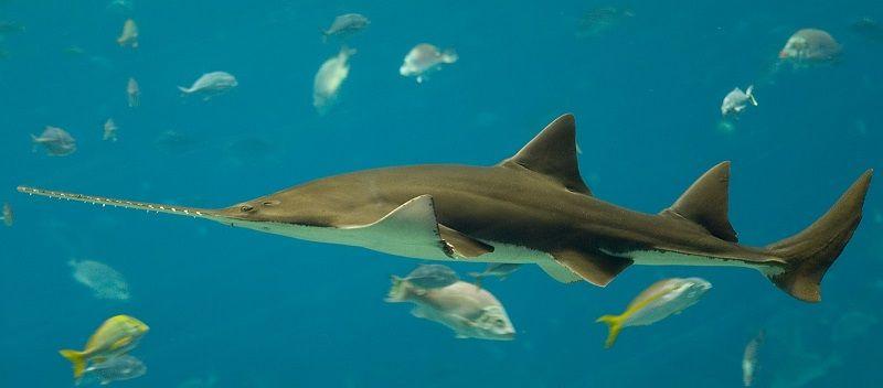 Акула - пилонос