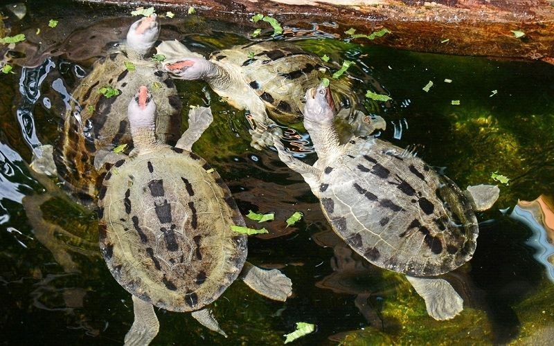 Черепаха каллагур - обитательница индонезийских островов