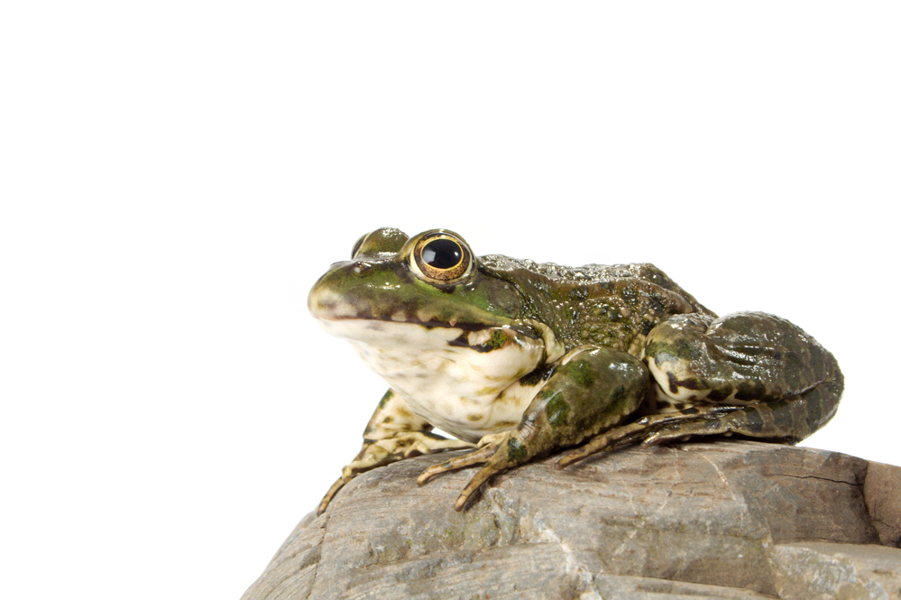 лягушка болотного цвета