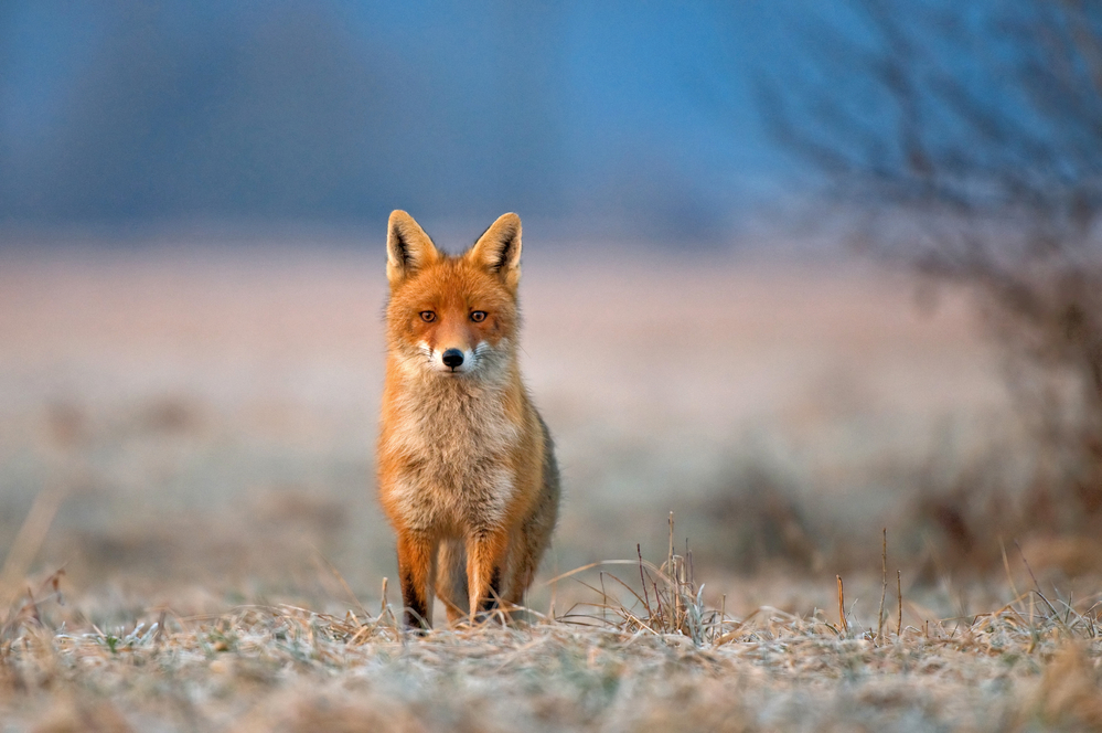 рыжая лиса