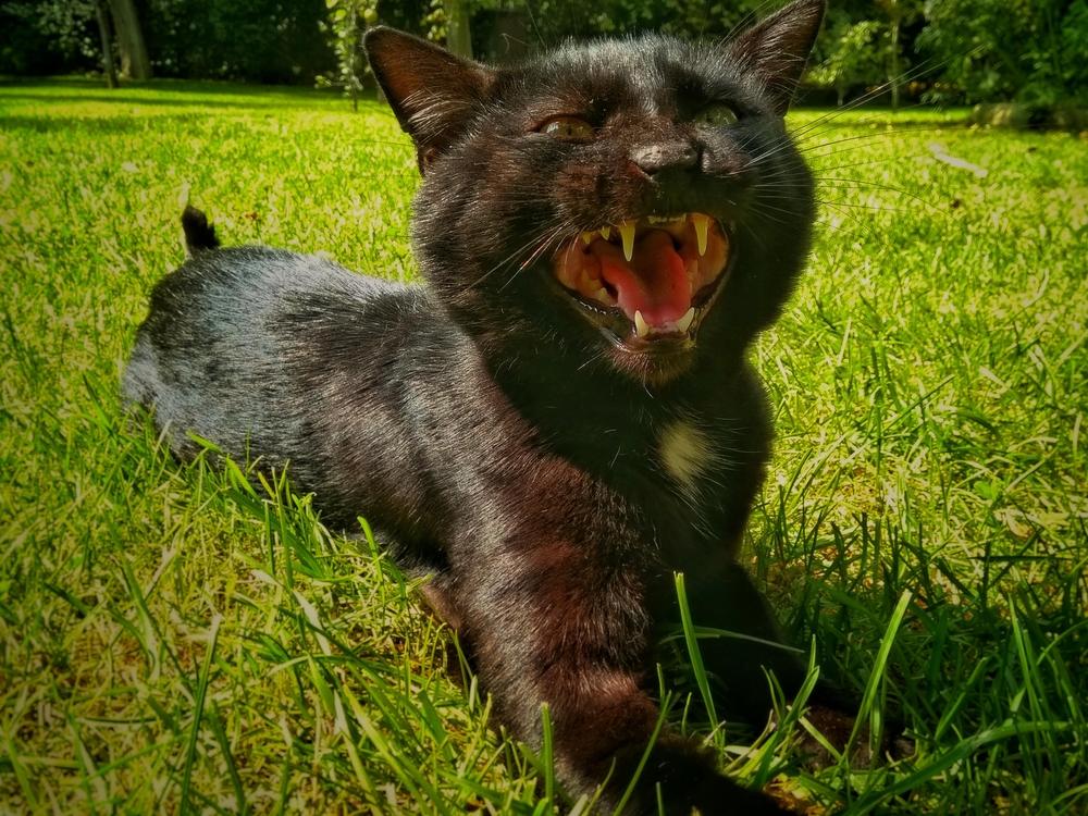 черная кошка на траве