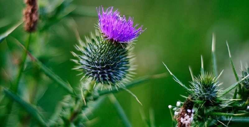 Репейник – цветок на гербе Шотландии