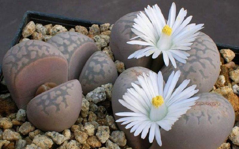 Цветы Литопсы или Живые Камни