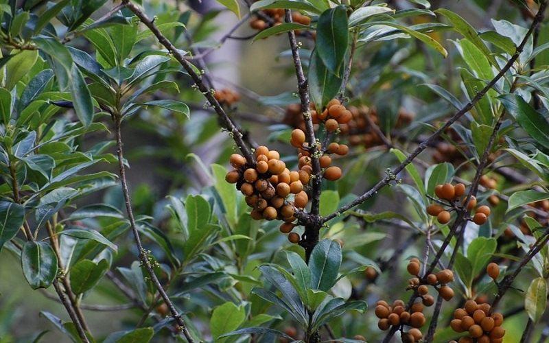Копаифера (керосиновое дерево)