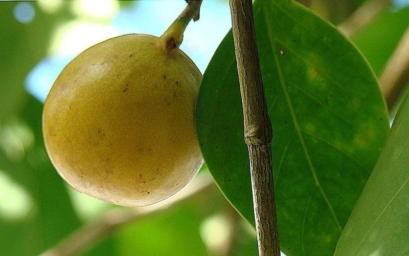 Плоды манцинеллы