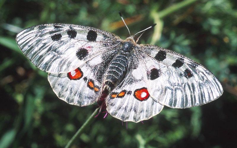 Парнасиус Баннингтони (Parnassius bannyngtoni)