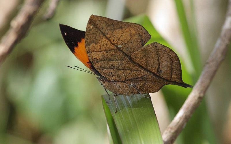 Бабочка - дуболист
