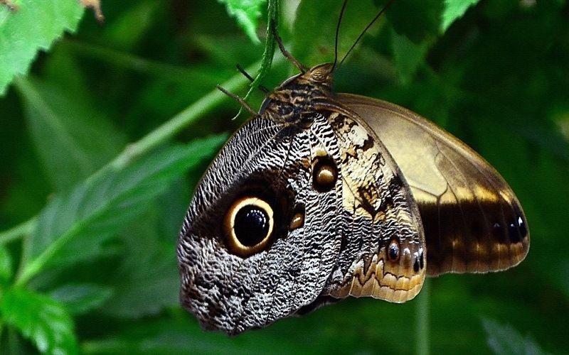 Бабочка каллиго