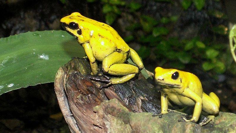 Колумбийские ядовитые лягушки