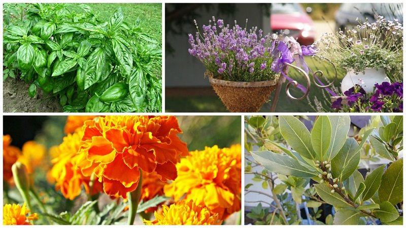 Растения репелленты