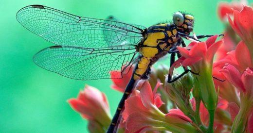 Удивительные факты о стрекозе