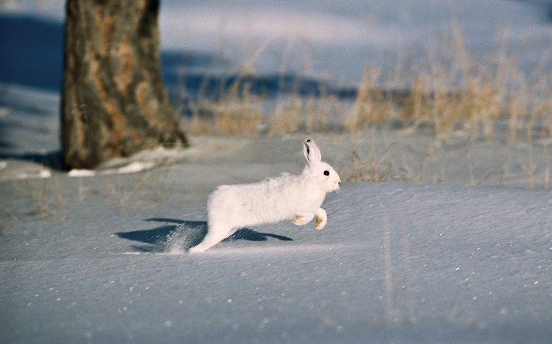 Заяц путает след