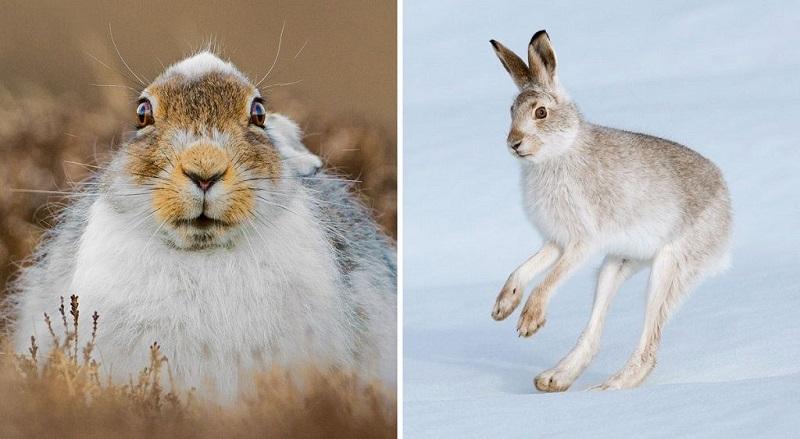 Описание зайца русака