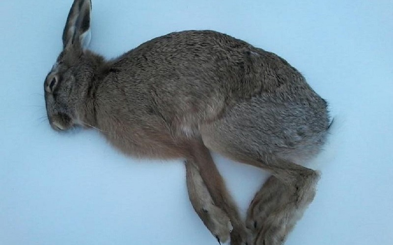 Спящий заяц