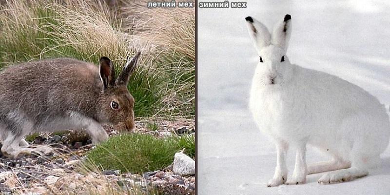 Как меняется окрас зайца в разные сезоны