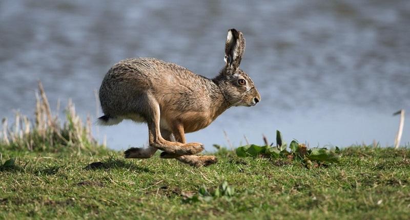 Как бегают зайцы