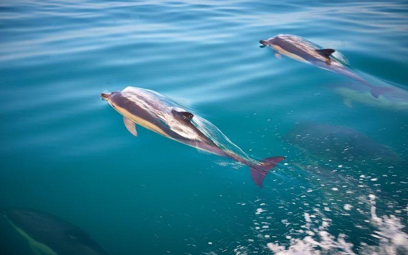 Быстрое передвижение дельфинов
